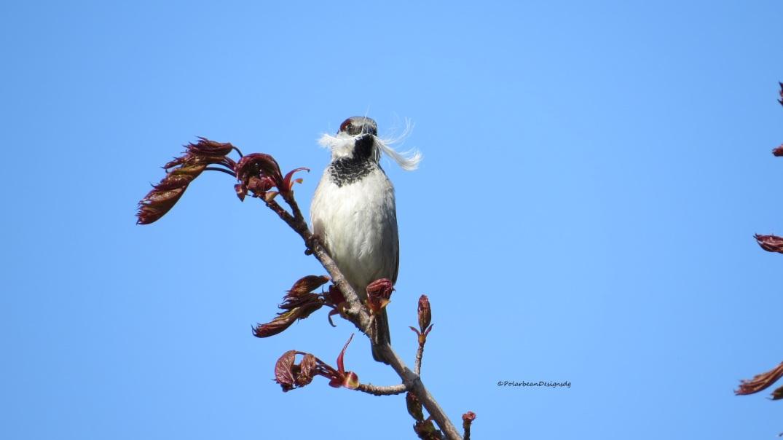 mustachebird