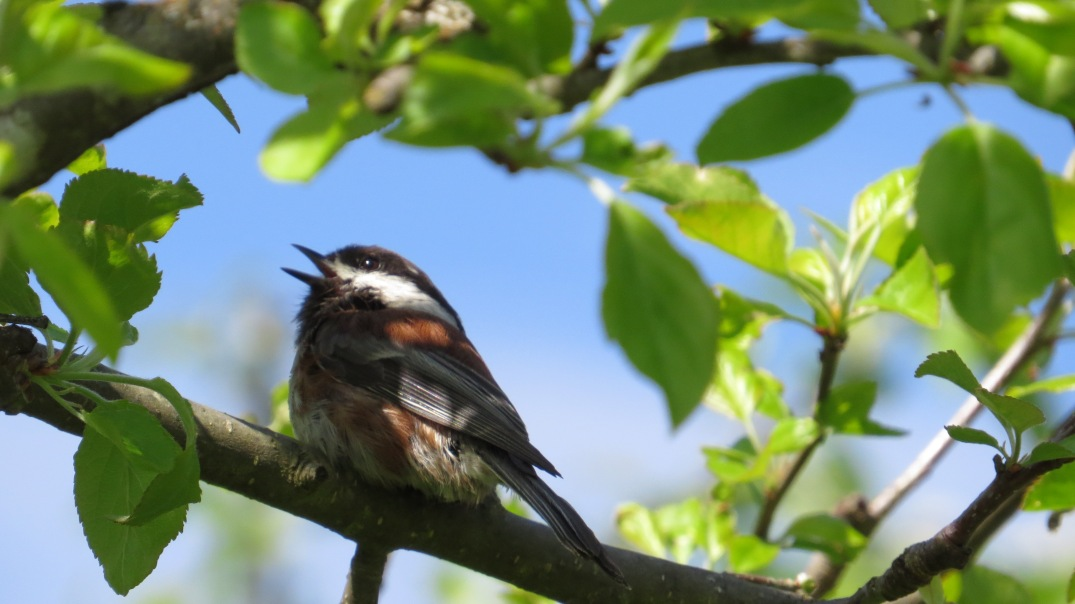 chickadee cherry tree (6)