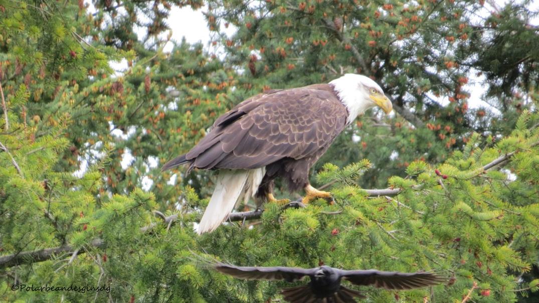eaglecrow